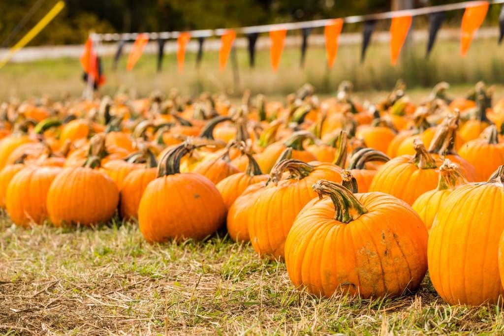 A pumpkin patch near Trussville arinahabich © 123rf